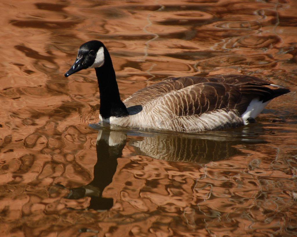 Canada goose Red Rock Canyon by Rhonda Van Pelt | Manitou Springs, CO